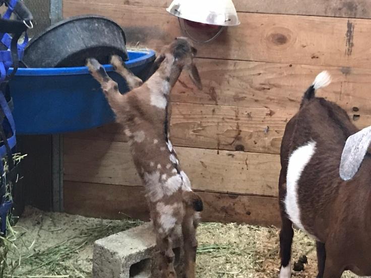 F6 ~ Moonspotted Buckling Mini Love Farm He's JustAJester Sire: F5 ~ MilkCreek Ridge Phinnus Dam: F5 ~ Eveland Farms Panda's Lady Sarah K-M