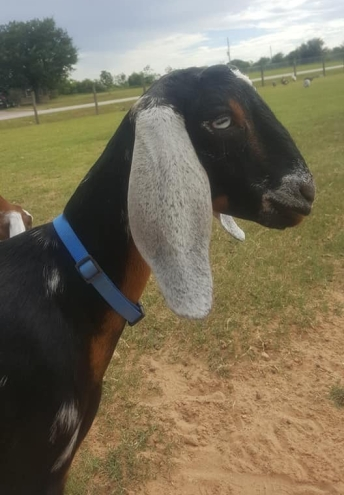 Beautiful Midnight Skye! F6 G6S Normal Polled and Blue Eyes From Texas to Oregon Thank you Cedar Creek Mini Nubians !