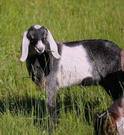 Breezee Creek's The Stars And Beyond F3 G6S Normal Black Roan with White Patch and Moonspots