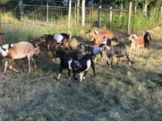 The Doe Herd