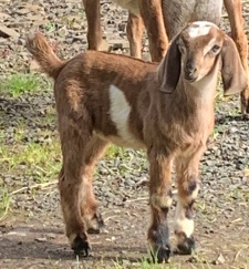 Mini Love Farm Miss Daisy Purebred Doeling Sold