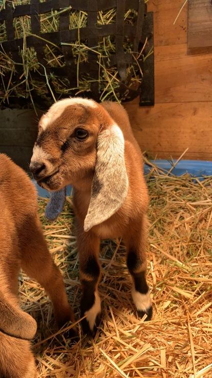 Mini Love Farm's He's a Dandy- GTR F7 Purebred G6s Normal