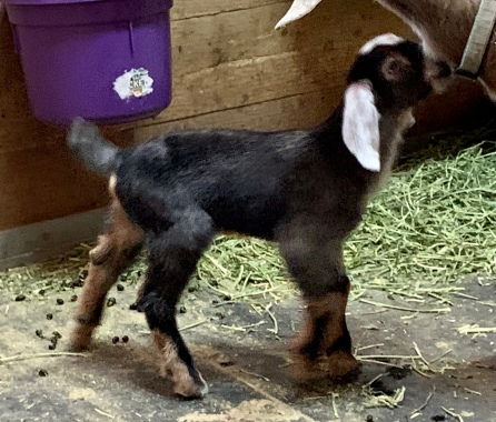 Mini Love Farm's Moody Blues-R Purebred Buckling G6s Normal by Parentage Blue Eyes